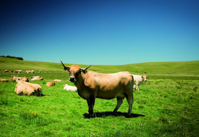 aubrac - Photo